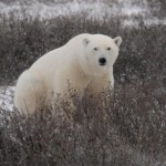 White Bears At Play in Manitoba
