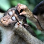 Pig-Tailed Macaques Make Merry in Borneo