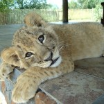 Befriending Lions in South Africa