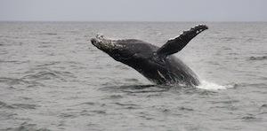 island_spirit_breaching_whale_00011_4