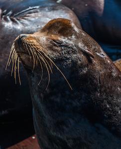 sea_lion