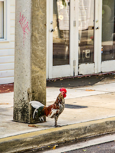 key_west_street_chicken