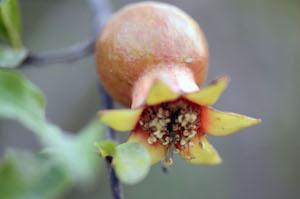 yamuna_pomegranate_edible_garden