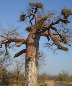 upside_down_tree_at_thsipise_south_africa