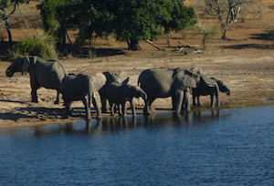 elephants_chobe