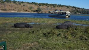 hippos_chobe
