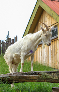 goat_on_roof