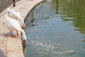 los_encinos_geese_pond
