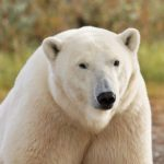 Forget Churchill's Tundra Buggy — Experience Polar Bear Bliss at Nanuk