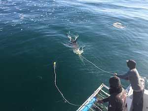 shark baiting