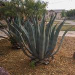 cactus lajitas