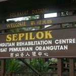 Orangutan Rehabilitation in Sabah