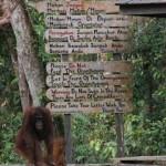 Our Wild Cousins: Orang-utan Spotting in Borneo