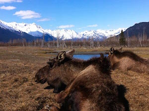 alaska_moose