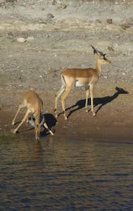 antelope_chobe
