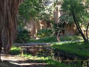palm_canyon_lush_undergrowth