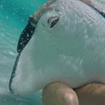 How to Swim with Grand Cayman Stingrays